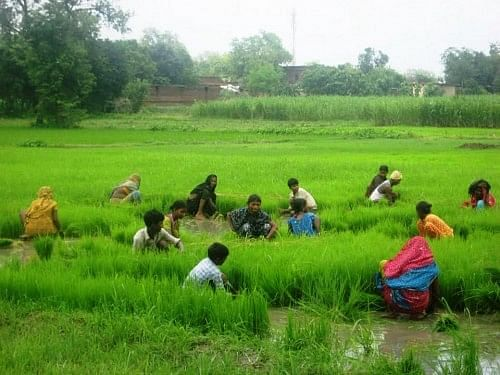 Weeding being done manually in organic rice fields