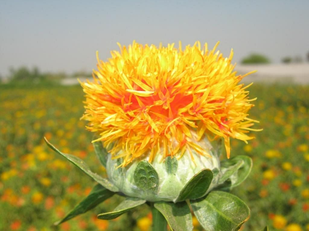 Safflower can be used as fodder, food dye and much more.