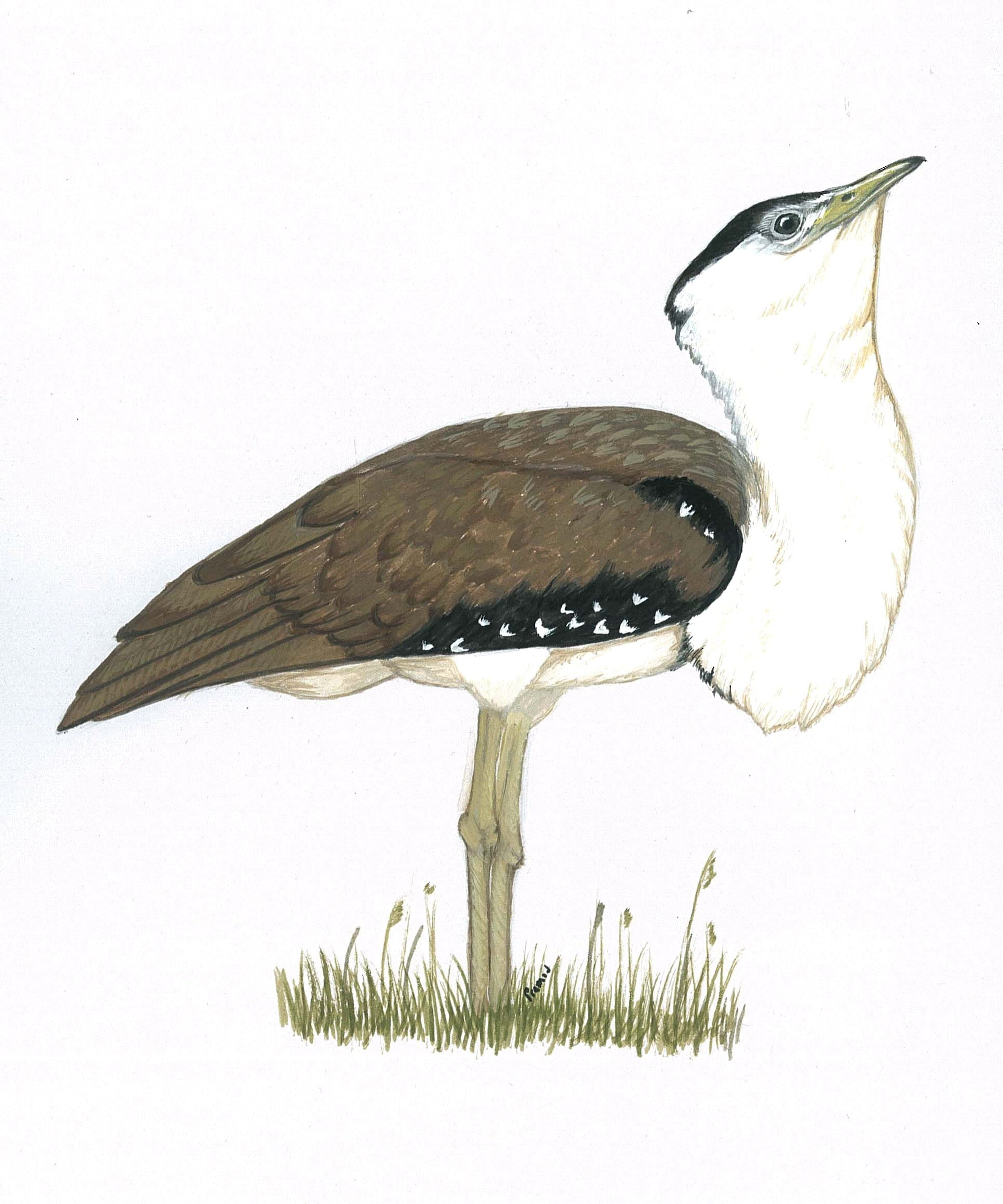 A sketch of the Great Indian Bustard by Dr. Patil