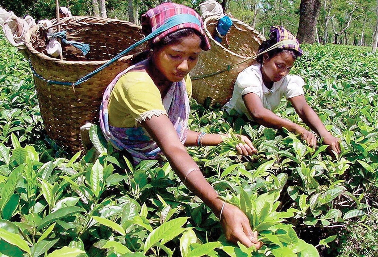 Many unsuspecting children, especially minor girls, are being lured in large numbers from the tea gardens of Assam into bonded labour, sexual exploitation and even forced marriage. (Image for representational purpose only)