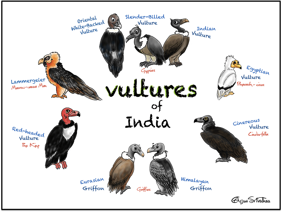India has 9 species of gorgeous-looking vultures.
