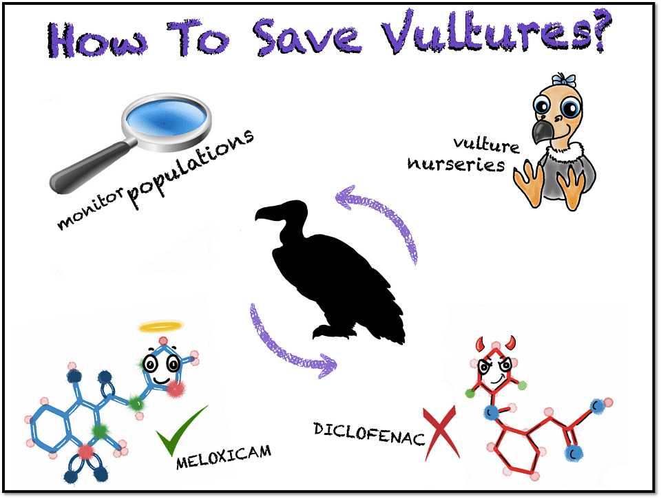 Vultures are super important in our ecosystem. They help clean up the dead stuff. It is possible to save them by putting some effort in: 1. Fully getting rid of Diclofenac (It is still available for human use) 2. Trying alternative drugs like Meloxicam – which has been tested to be safe 3. Increasing vulture numbers through breeding centres 4. Constantly and scientifically monitoring their populations