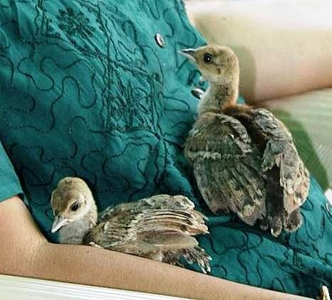 Peafowl chicks getting comfortable in a human lap