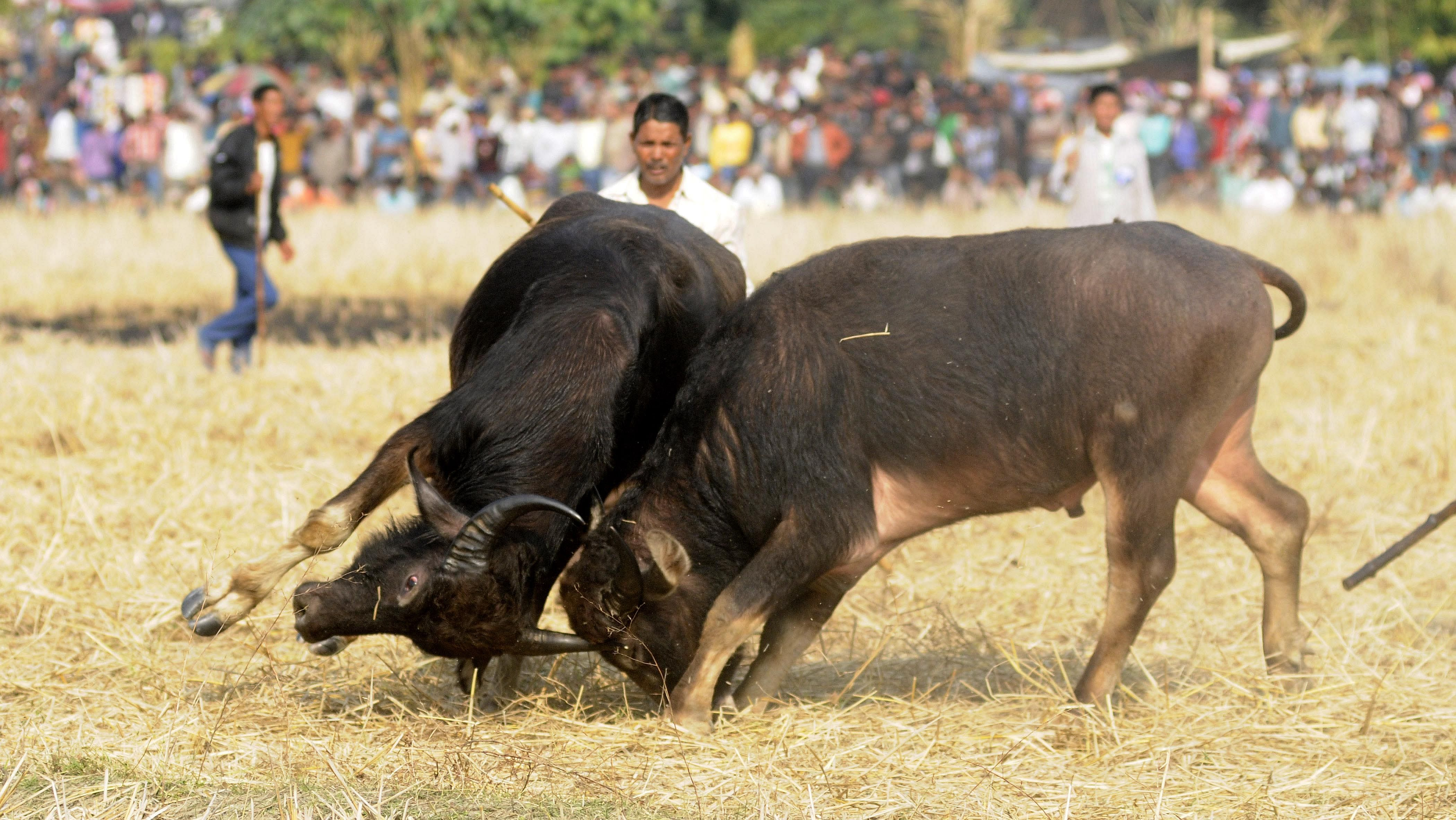 Indians watch a traditional buffalo fight in progress at Ahatguri, some 80 kms away from Guwahati, the capital city of India's northeastern state of Assam on 15 January 2014. The age-old buffalo fight is organised on the occasion of the harvest festival 'Bhogali Bihu' in Assam.
