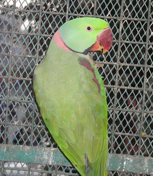 During the initial days of treatment each bird is kept in a separate cage Photo credit: Ugain Jain