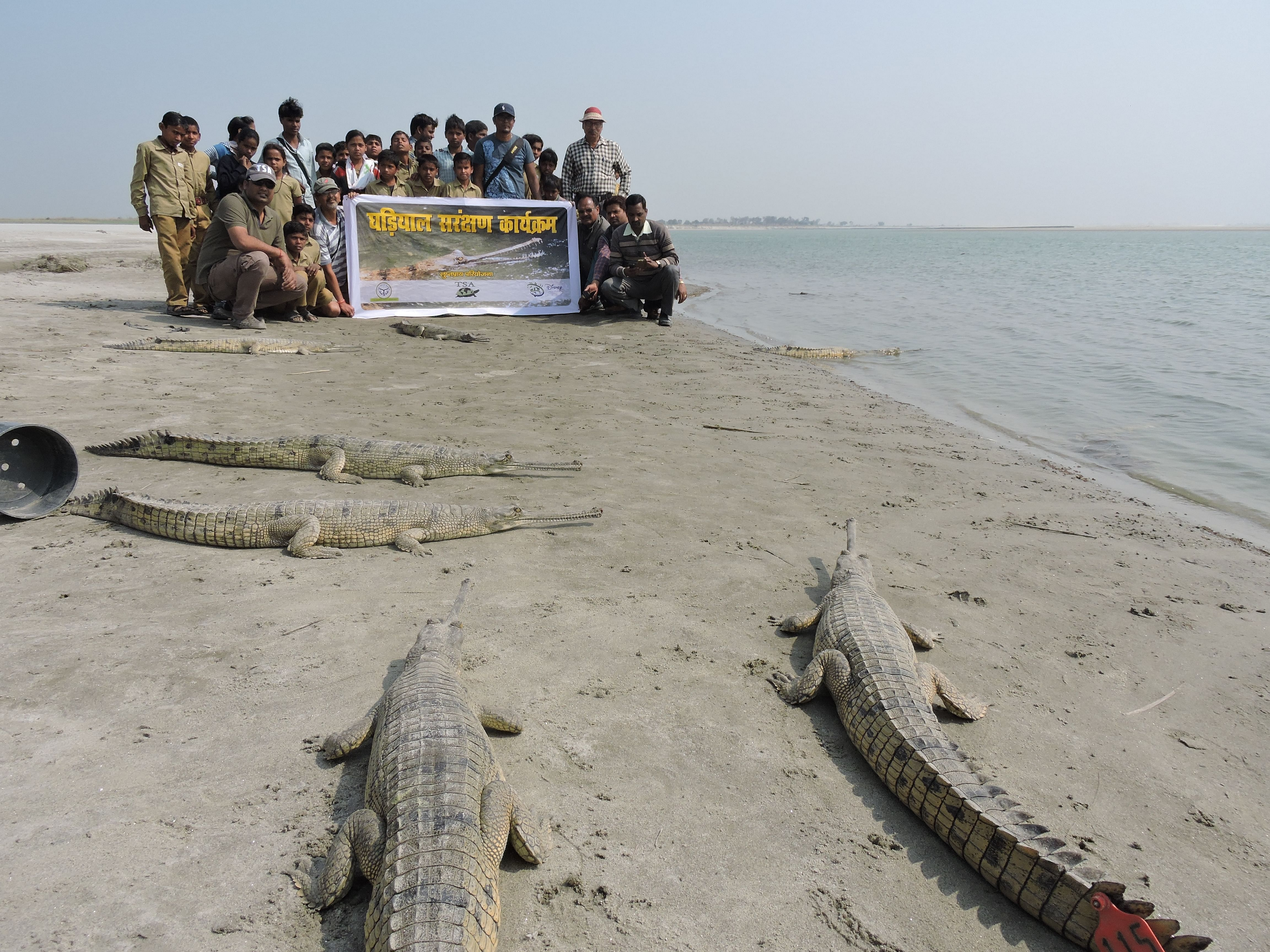 Gharial juveniles tagged and being released in the winter months