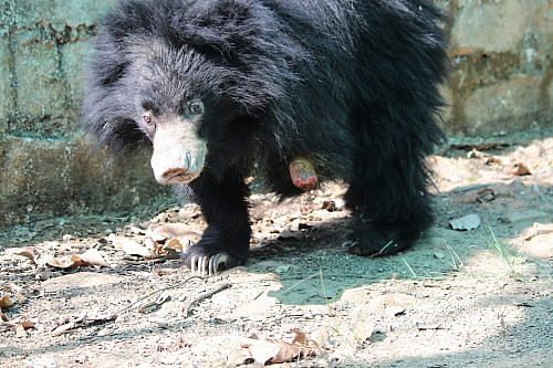 Rose-bear-who-was-caught-in-a-snare-and-lost-her-limb