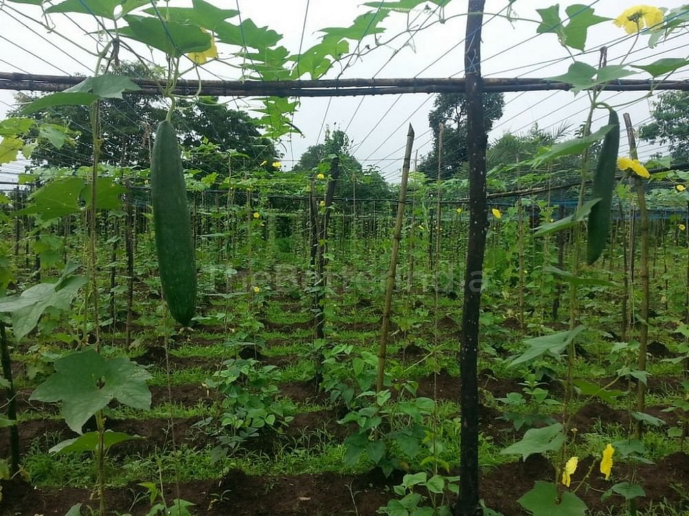 Varieties of gourds and beans