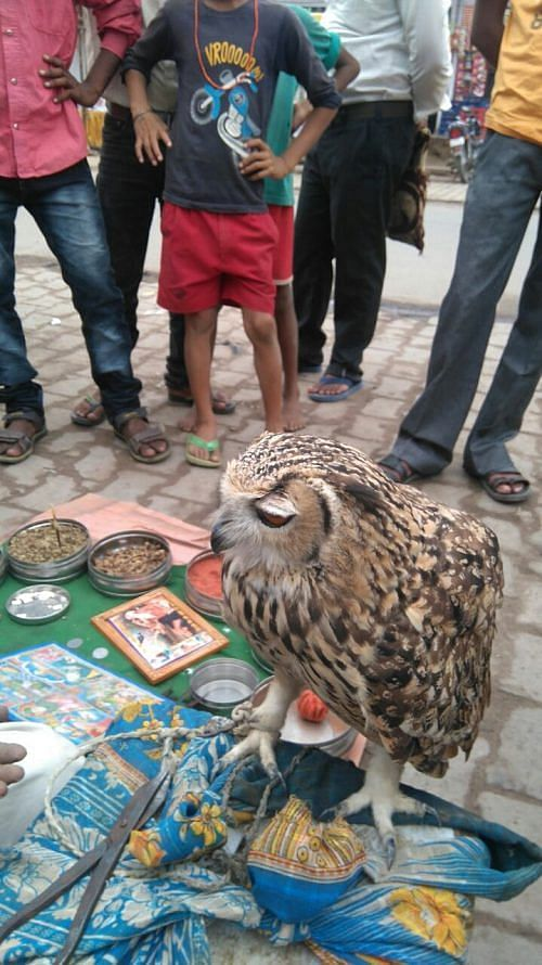 Indian Eagle Owl rescued from tantrics