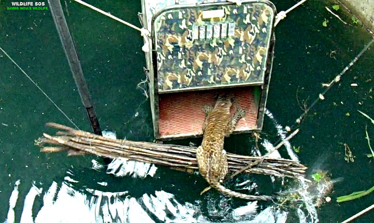 leopard-rescued-by-wildlife-sos-in-maharashtra-1