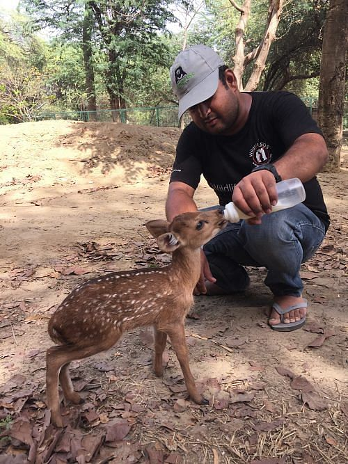 Hog Deer Fawn being cared for by Wildlife SOS staff