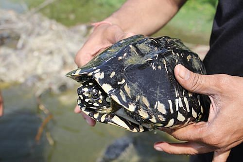 A Spotted black turtle rescued from poacher's net in Agra