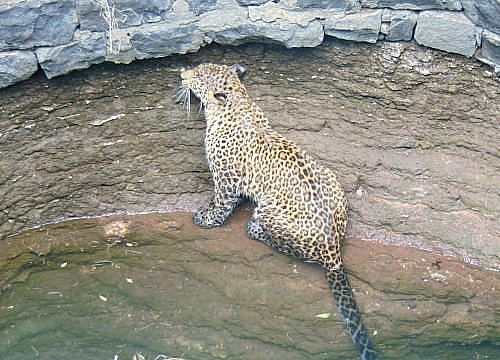 Leopard trapped inside a 30 foot deep well