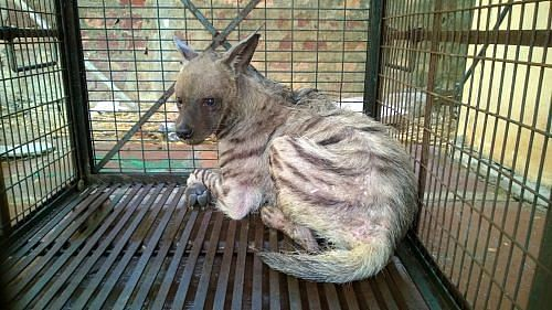 Injured hyena rescued from a violent mob in Agra