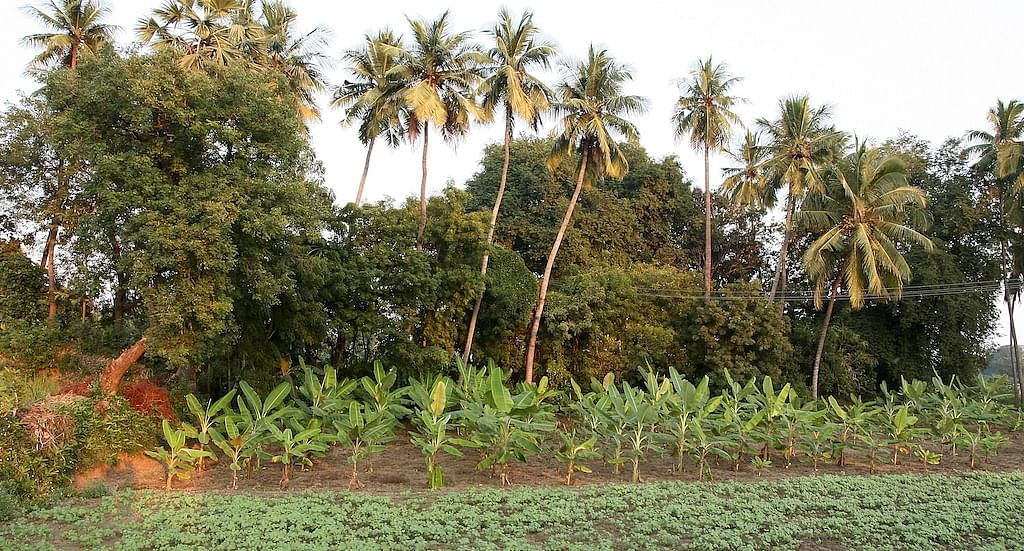 A small agroforestry farm in Pudukottai with black gram crop and banana, neem, tamarind and coconut trees. (Photo by R. Samuel)